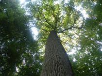 Le Chêne de l'Ecole